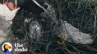 Heroes Cut Huge Sea Turtle Free From Fishing Lines | The Dodo by The Dodo