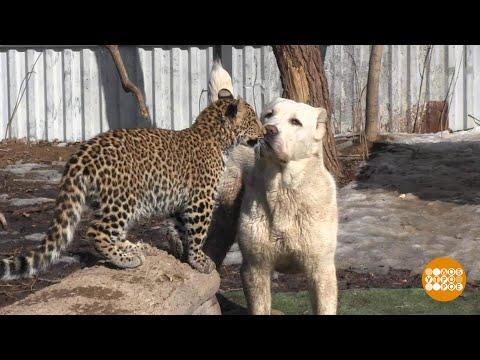 Про овчарку и леопардов. 20.03.2018 - DomaVideo.Ru