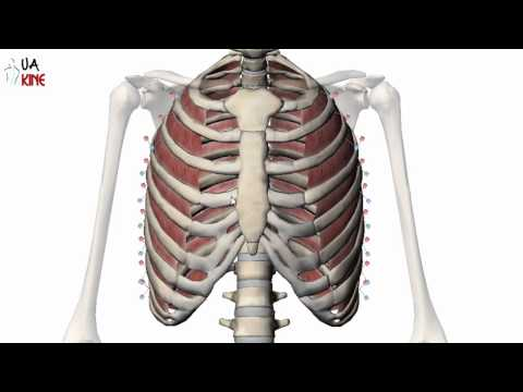 Anatomía Músculos Intercostales (Características)
