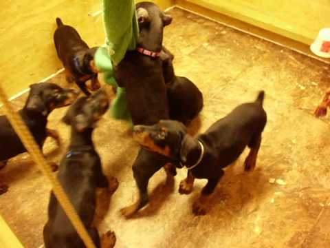 F Litter Douglass Dobermanns 7 weeks
