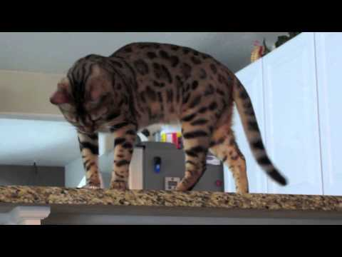 Bored Bengal Cat Troublemaker