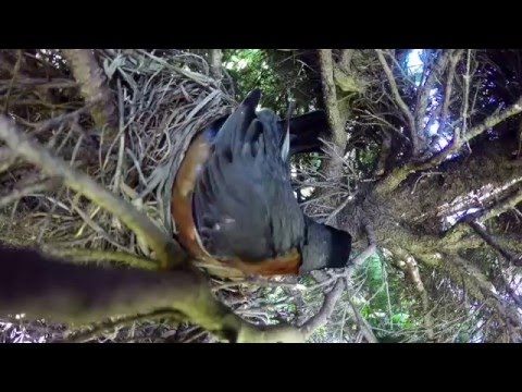 他們放了一台攝影機在鳥巢旁邊想看看大自然的殘酷…接著到18秒時我已經捂住嘴了!
