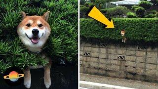 Video 10 psów, które utknęły w dziwnych miejscach MP3, 3GP, MP4, WEBM, AVI, FLV Mei 2018