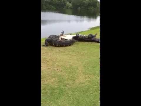 他們當天還以為只能打個高爾夫球,沒想到幸運能看到一場「最瘋狂的鱷魚PK大戰」!