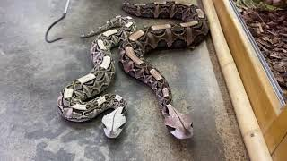 Beautiful But Deadly Vipers by Prehistoric Pets TV