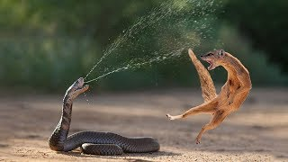 Download Video Amazing Snake Python King Cobra Big Battle In The Desert Mongoose | Amazing Attack of Animals MP3 3GP MP4