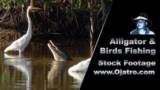Alligator & Birds Fishing 01 Stock Footage