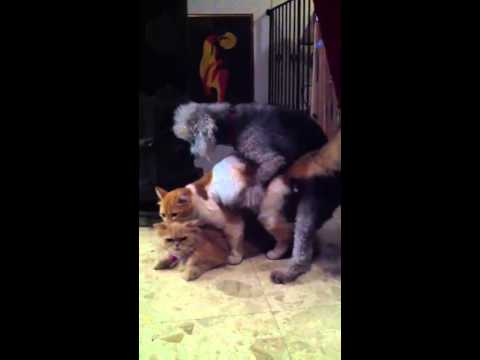 dog mating video - You can watch videos by following me. This video is for educational purposes. Subscribe for more videos on different types of animals mating and breeding. an...