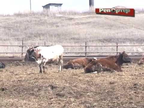 В с. Аксаково Шенталинского района живут коровы-арестанты