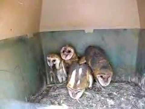 Owl Tries to Swallow Rat.