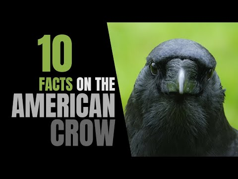 10 Fun Facts About Crows