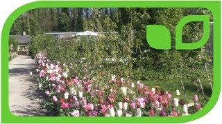 Die Kombination von Tulpen und Johannisbeeren