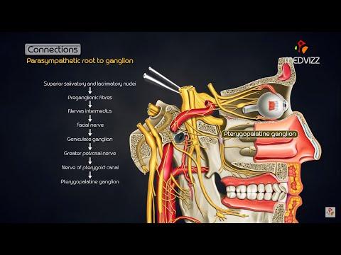 Pterygopalatine ganglion - Head and neck animated gross anatomy