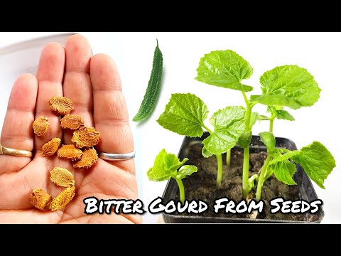Fastest Way To Grow Bitter Gourd From Seeds || How To Grow Karela At Home.