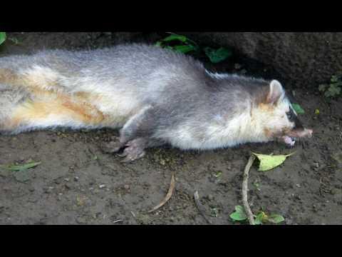 注意!感染狂犬病的鼬獾…