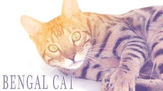 Ideal Companion: Bengal