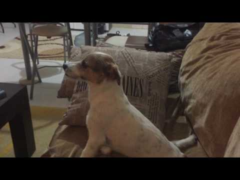 The dog reacts to horror movie