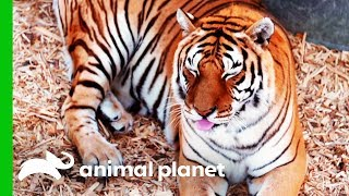 This Rescued Tiger Desperately Needs a Manicure | Dr. Jeff: Rocky Mountain Vet by Animal Planet