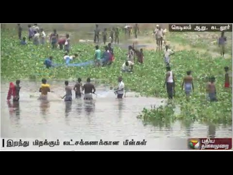 Dead-fishes-float-in-Kedilam-River-Cuddalore--Details