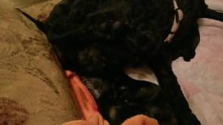 Our Kerry Blue Terrier had 7 pups! We were lucky enough to get a clear birth of the last pup. Sorry for the comments, it was 230am and we were delirious. Side note: Mom decided to have her pups on one of our chairs. Ha ha