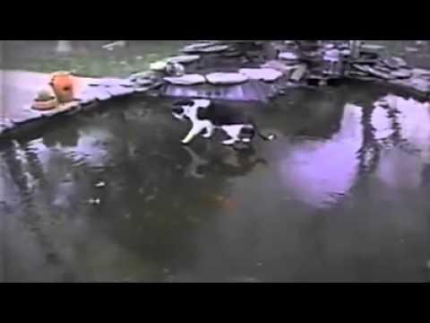 gatto sul ghiaccio insegue i pesci