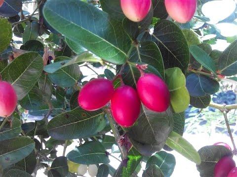 มะม่วงหาวมะนาวโห่ ต้นหนามแดง สมุนไพรบำรุงปอดหลอดลม วรากรสมุนไพร