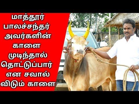 mathur balachandar jallikattu kaalai | jallikattu | ஜல்லிக்கட்டு | Tamil valluvan Guru