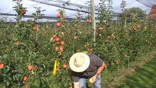 #226 Der Apfel Paradis Sierra