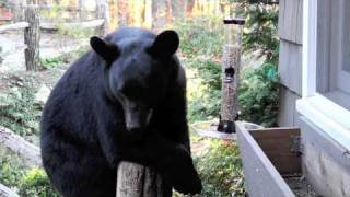 Black Bear and Bird Feeder, North Carolina USA