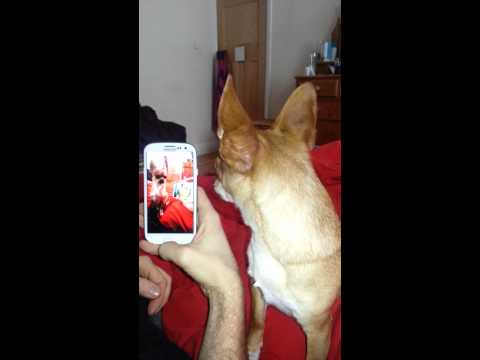 teacup chihuahua puppy howling at a video of himself howling at another video of himself howling!!!