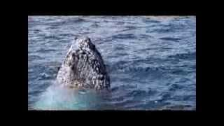 Jervis Bay Australia  city photo : Humpback Whale Watching at Jervis Bay, Shoalhaven, NSW, Australia