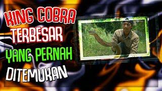 Video Wow !! 10 Ular King Cobra Terbesar Yang Pernah Ditemukan Di Dunia MP3, 3GP, MP4, WEBM, AVI, FLV Juni 2017