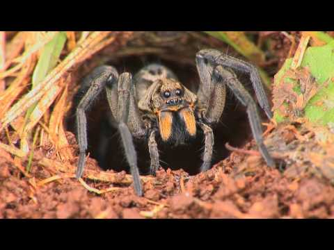 Spider - A short video showing some factual aspects of the large Australian Wolf Spider Lycosa sp behaviour in a typical lawn on the east coast of Australia. If you l...
