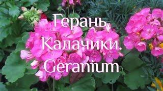 Рослина Герань