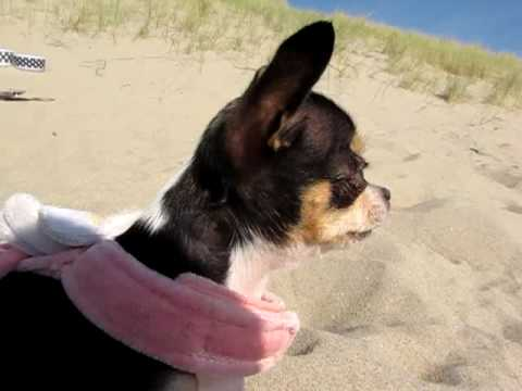 Chihuahua Chistila: Funny barking!