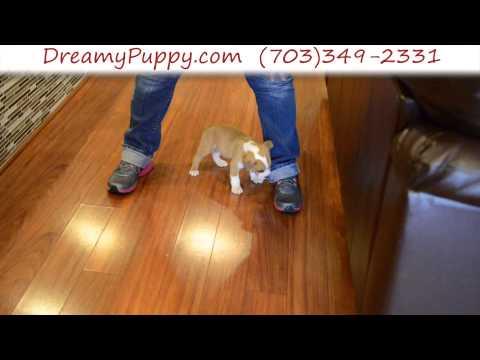 Gorgeous EngAm Bulldog Male Puppy 3