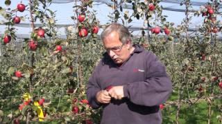 #521 Apfelzüchtung 5v10 - Die Ernte der Früchte