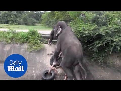 Ελέφαντας χρησιμοποιεί αυτοσχέδια σκάλα για να βγει από κανάλι με νερό