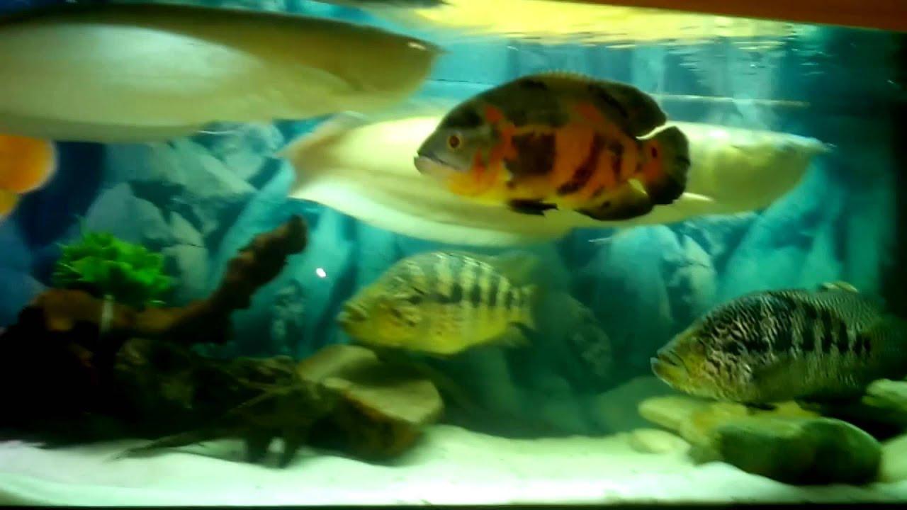 Смотреть онлайн: Интерактивный аквариумный туризм Сезон 2 Выпуск 29(Стандартный аквариум с крупной рыбой)