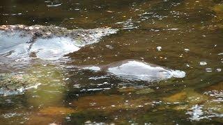 Devonport Australia  city images : Platypus in natural habitat at Cradle Mtn & Devonport, Tasmania, Australia