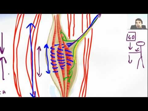 stretch reflex - http://www.FLASHBRAINANATOMY.com/ - click HERE Stretch Reflex Of Muscle Spindle is what makes us safe our muscle from hyper--extension.