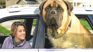 Top Biggest Dogs On The Planet With Funny Pet Video Clips By - 10 of the worlds biggest pets