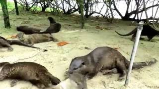 Video Singapore Wildlife - Otters at the Gardens by the Bay. MP3, 3GP, MP4, WEBM, AVI, FLV Juli 2017