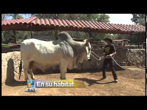 Aylen presenta al toro cebu brahman