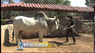 Download Lagu Aylen presenta al toro cebu brahman Mp3