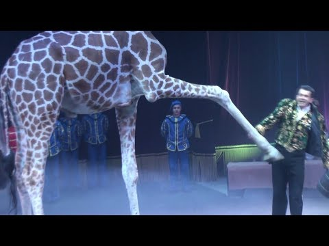 Circus. The show of different animals. Bisons, kangaroos, ostriches & giraffe