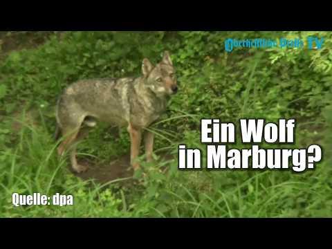 Ein Wolf in Marburg? 5 unabhängige Meldungen