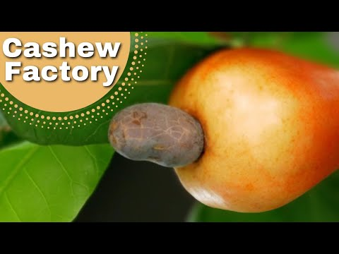 Ever wondered where cashew nuts come from?