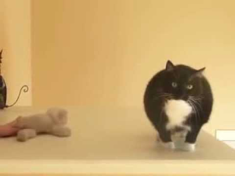 черно - белый кот нападает