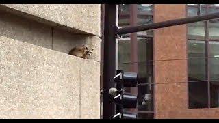 Video Spiderman like raccoon conquers US skyscraper MP3, 3GP, MP4, WEBM, AVI, FLV Januari 2019